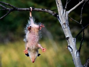 The noble opossum